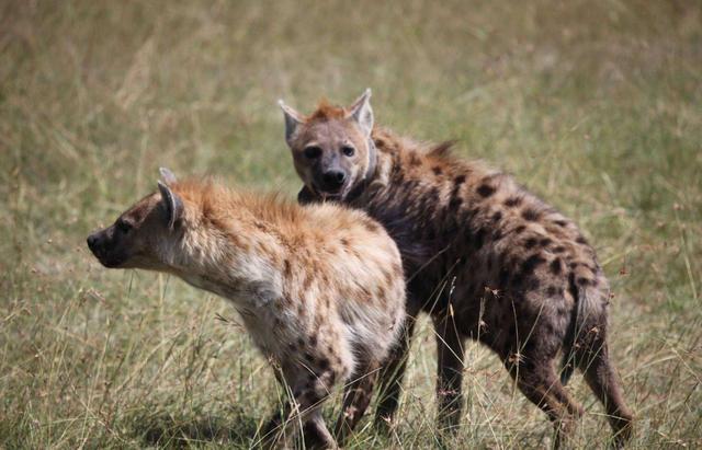 残酷的鬣狗,靠一手