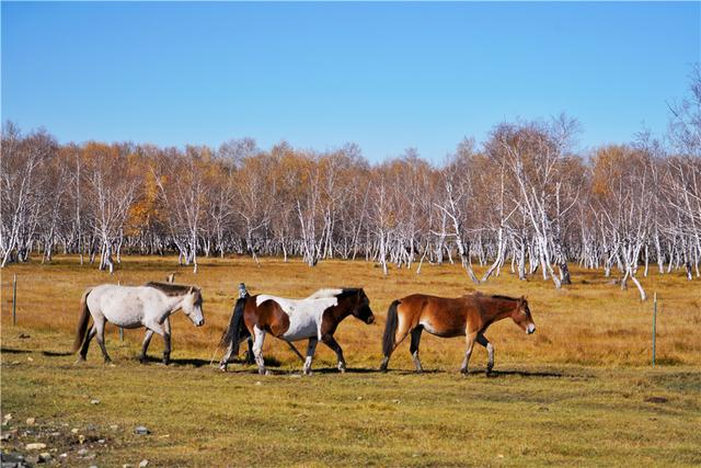 锡林郭勒草原羊群摄影