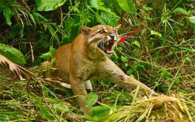 亚洲金猫,一种被人忽视的猫科动物,据说比老虎还要凶猛