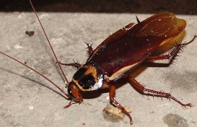怎么消灭家里的蟑螂?-第2张图片-IT新视野