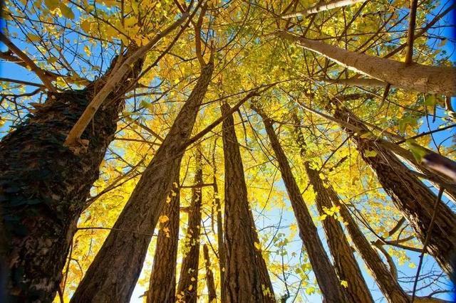 南雄赏银杏 在这个专属于银杏的深秋,总有一条线路适合你!
