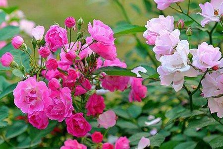 白蔷薇chuoline图片