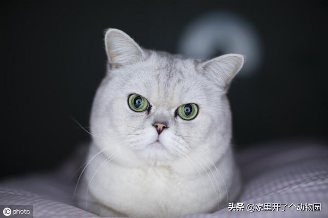 渐层猫图片大全集