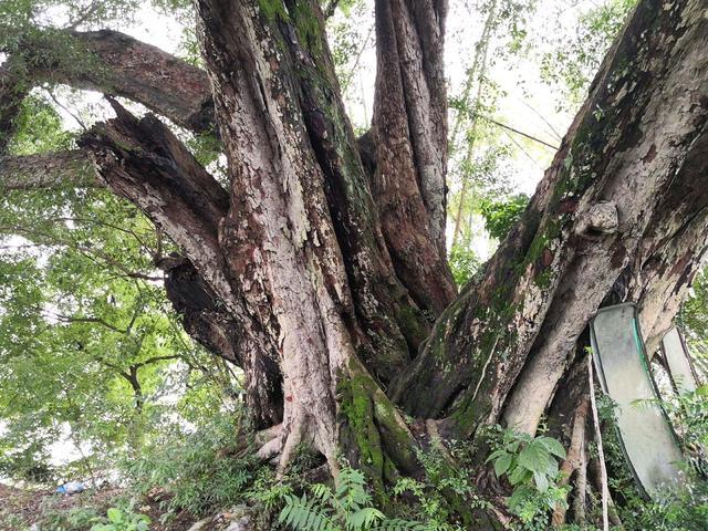【手机摄影】河源纪行——伫立在古村落里的大榕树(组图)