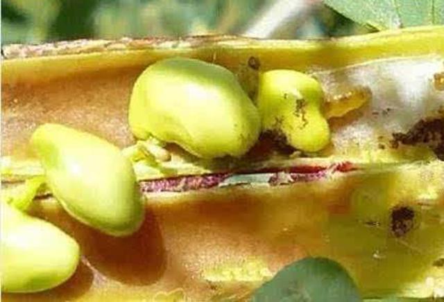 种植大豆,中后期别忘了这4种病虫害的防治,助你增产上百斤