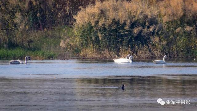 大美汝州---天鹅回来了摄于汝州市北汝河国家湿地公园
