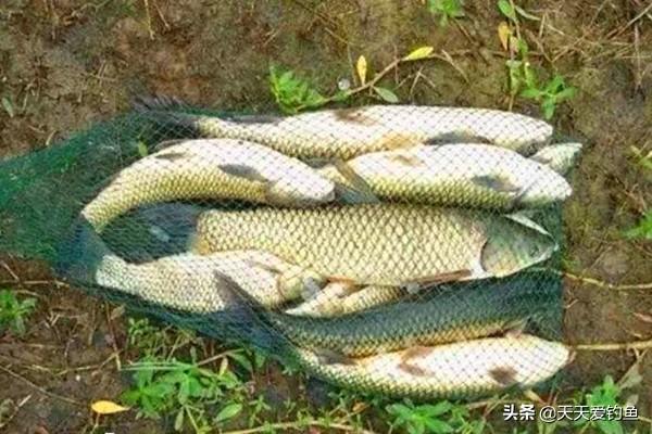 三连招,野钓连杆上草鱼,解析春季野钓草鱼三大技巧_腾讯网
