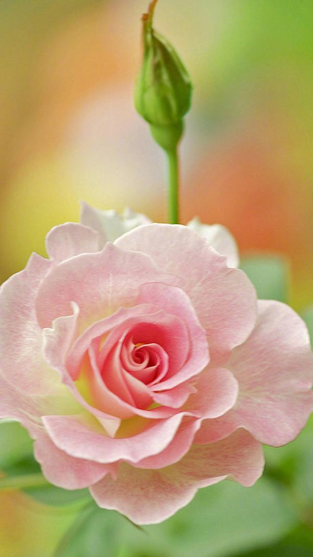 手机壁纸花朵唯美玫瑰