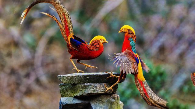 赤翅沙雀指名亚种介绍