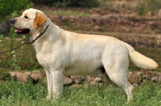 超稀有银色拉布拉多你见过吗?它们不被犬业协会承认却卖得超贵