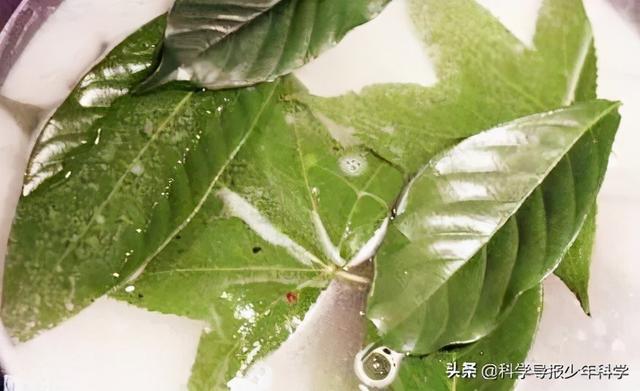 学学做植物标本,为家里再添一份绿意!
