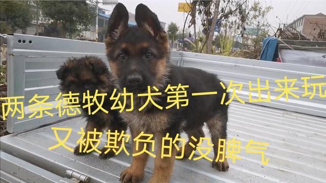 银灰毛长毛德牧犬图片