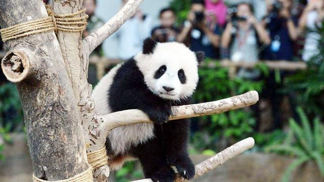 竹林有一只熊猫的画