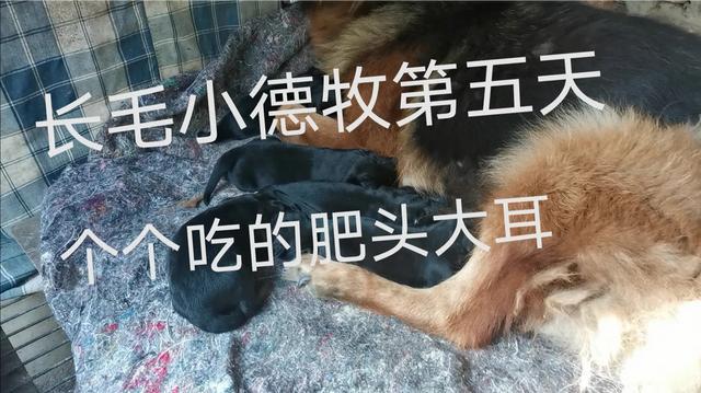 德牧犬图片