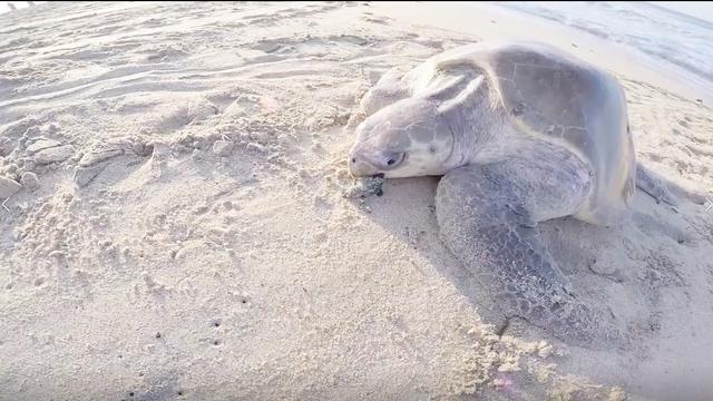 神奇的大海龟