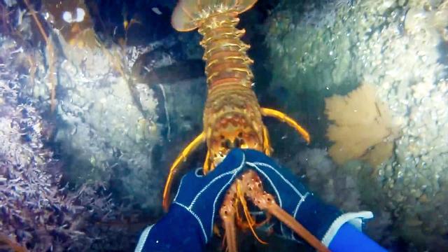 第一视角大海潜水徒手抓大龙虾,看着都很过瘾!