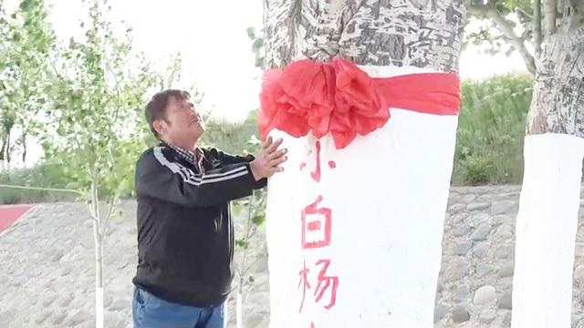 小白杨树的图片意境