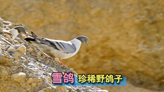野鸽子图片(2)_动物图片_三联