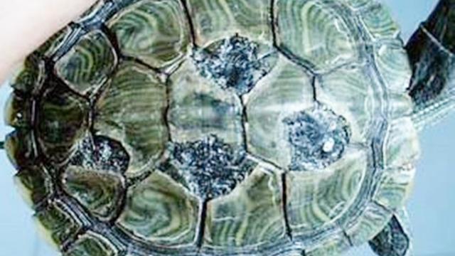 乌龟脱皮和腐皮图片