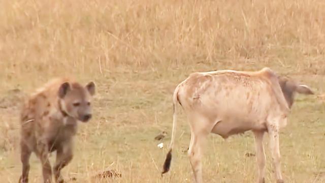 鬣狗掏水牛