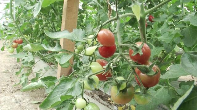大棚种植小番茄,种子一粒最贵卖10元,一亩效益近4万元!