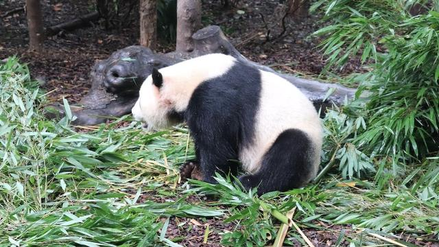 成都有两个熊猫基地,去哪个好一点?