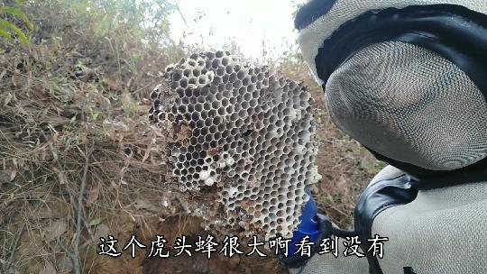 云南养出6个人抬的特大虎头蜂窝170斤,居然要卖20万... _推信网