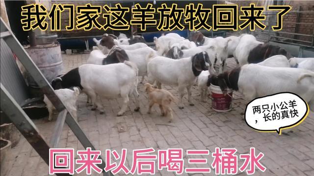 波尔山羊圈养羊舍建设