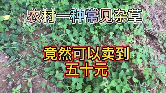 鹅绒藤图片和介绍