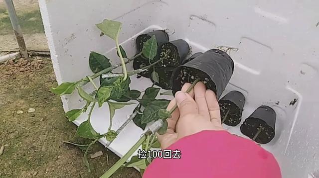 百香果促花结果的方法