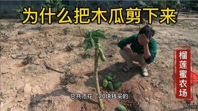 木瓜树价格是多少