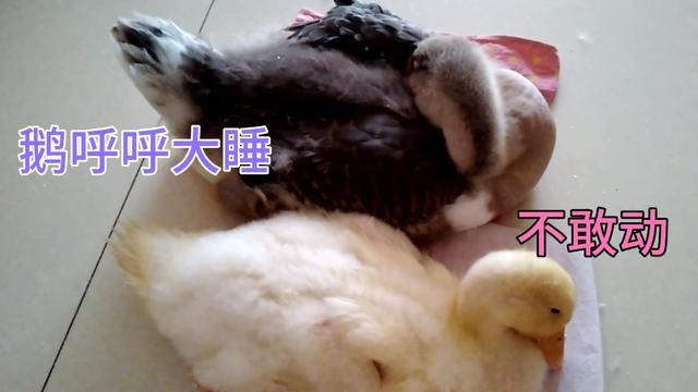 小鸭子和小鹅的区别图