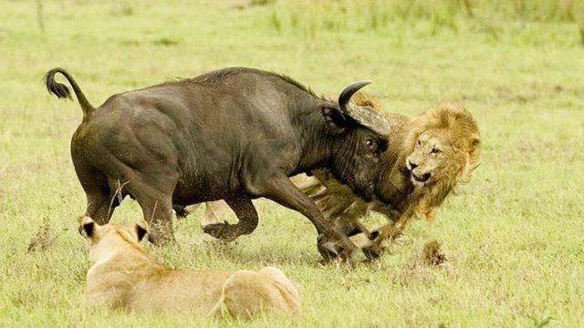 动物界生死大战-狮子对水牛