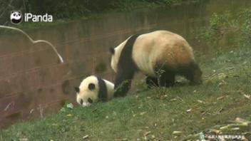 我的世界熊猫图片