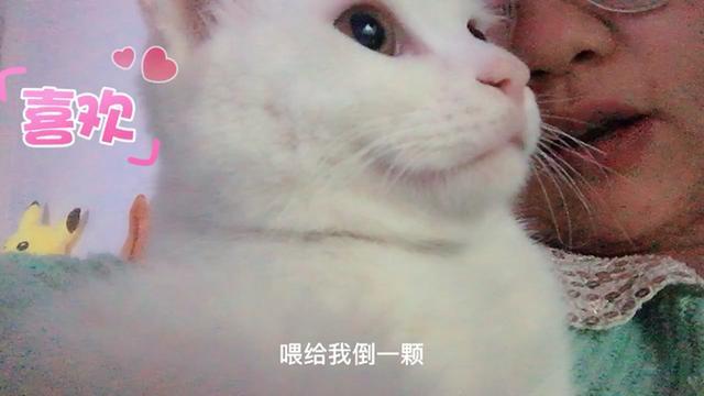 山东狮子猫多少钱一只
