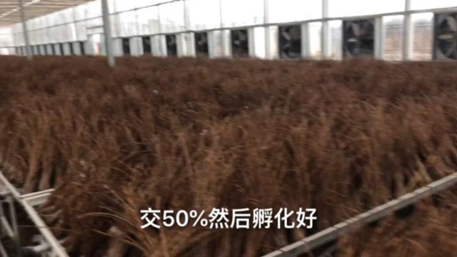 金蝉种子一亩用多少