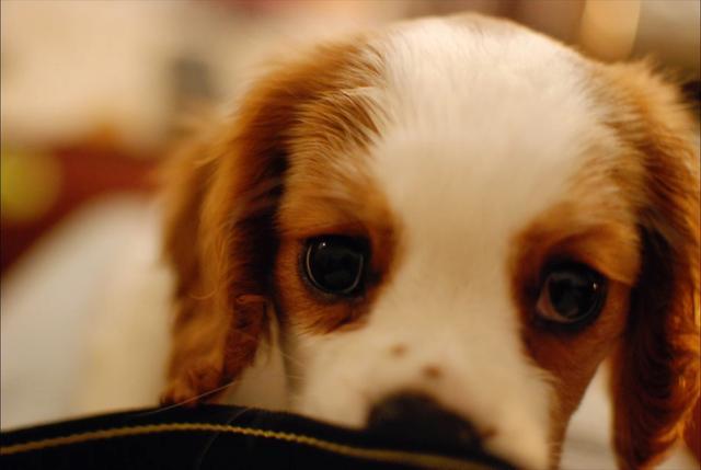 体型小,外表优雅美丽的查理士王小猎犬是怎么样的?_网易视频