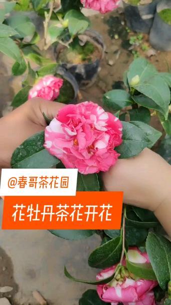"""茶花""""花牡丹""""又开了两朵_高俊杰的博客_新浪博客"""