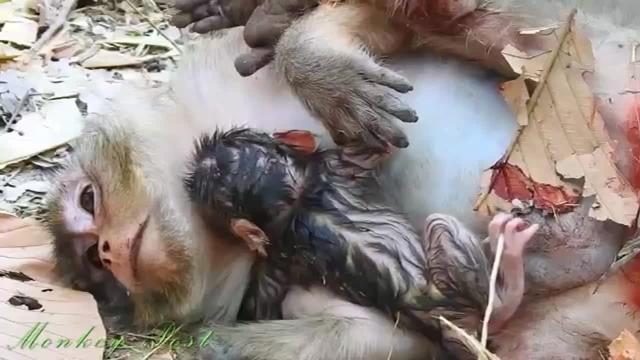 这是梅希刚出生的时候,断手猴真辛苦