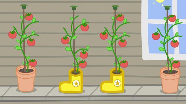 小猪佩奇:猪爸爸的冠军靴子,被猪爷爷拿来中番茄,结了好多果子