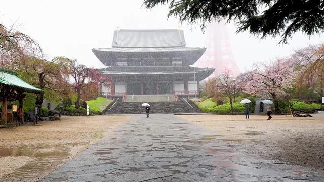 3月的东京雪中看樱花,飞雪扑眼樱花烂漫!