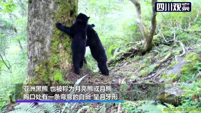 黑熊卡通图片