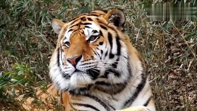 东北虎为什么喜欢捕食家犬?如果换成藏獒,老虎还能捕食成功吗?