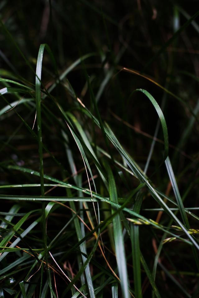 """有一种草叫""""夏至"""",你可曾见过?"""
