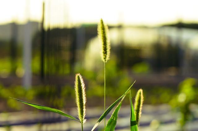 """植物趣图:干枯的狗尾草已经""""播下""""种子"""