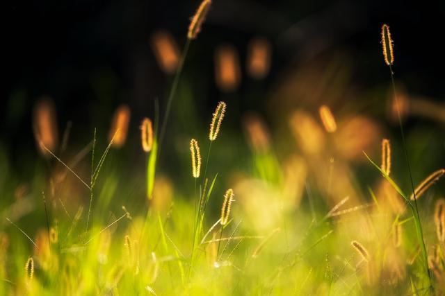 冬日夕阳下,平凡的狗尾草美哭了~就在洛浦湿地