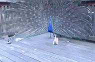 小猫闯进了动物园内,把开屏的孔雀当成了逗猫棒!孔雀的尾巴都快要薅秃了!