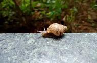 非洲大蜗牛入侵惠州公园小区!市民千万别触摸,带有细菌!