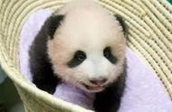 """32万人给一个熊猫宝宝起名字——它叫""""香香"""""""