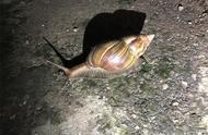 """这种""""田园杀手""""非洲大蜗牛,千万不要手贱去抓,更不能吃"""
